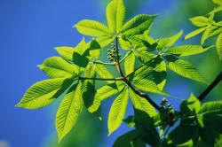 Листья каштана для приготовления настойки