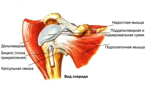 Анатомия плечевого сустава