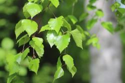 Березовые листья при хрусте в тазобедренном суставе