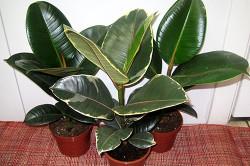 Применение листьев фикуса для лечения гигромы сустава