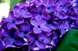 Цветки сирени для лечения подагры