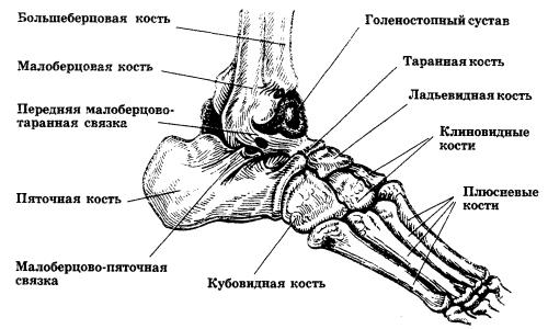 Схема анатомического строения стопы